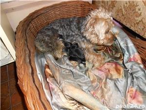 Catei Yorksire toy, rasa pura ,parintii se pot vedea la domiciliu,au 5 saptamani - imagine 6