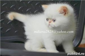 Vand pui persan Exotic Shorthair Color Point Red  !!! - imagine 2