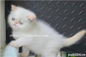 Vand pui persan Exotic Shorthair Color Point Red  !!! - imagine 3