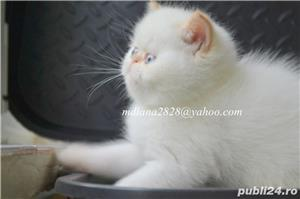 Vand pui persan Exotic Shorthair Color Point Red  !!! - imagine 11