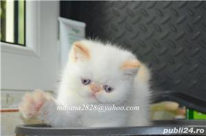 Vand pui persan Exotic Shorthair Color Point Red  !!! - imagine 10