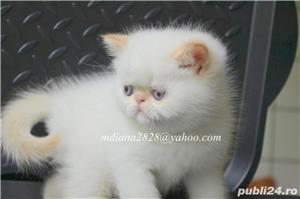 Vand pui persan Exotic Shorthair Color Point Red  !!! - imagine 9