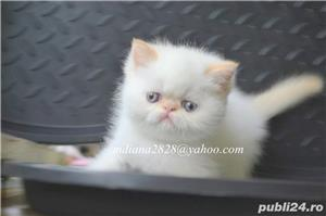 Vand pui persan Exotic Shorthair Color Point Red  !!! - imagine 12