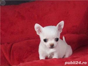 Chihuahua Mini Toy de vanzare- Tea Cup - imagine 1