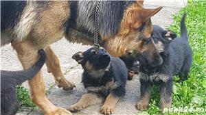 Pui de ciobanesc german, părinți dresați, carnet sănatate - imagine 5
