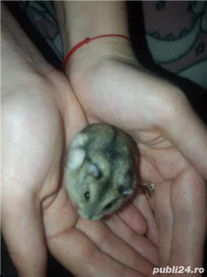 Vand hamsteri siberian pitici - imagine 3