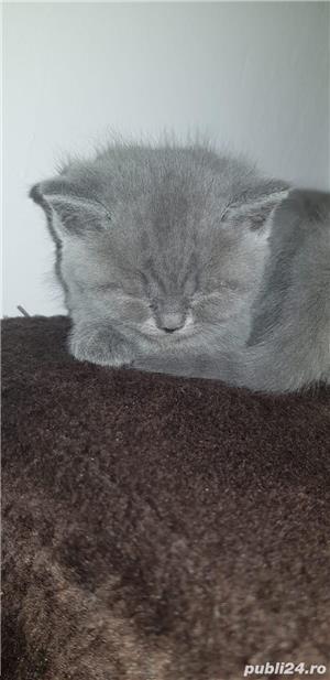 British Shorthair blue 10 saptamani - imagine 2