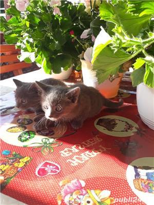 Vând pisici Albastru de Rusia  - imagine 8