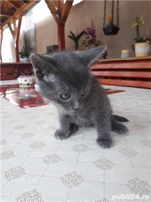Vand pisici Albastru de Rusia  - imagine 5