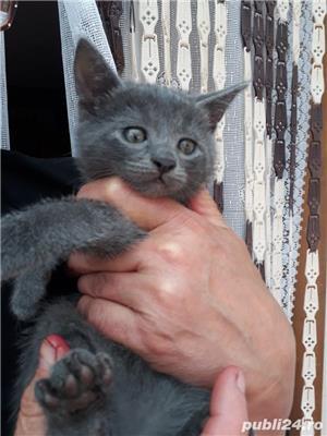 Vand pisici Albastru de Rusia  - imagine 1