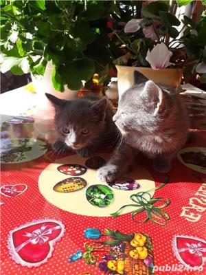 Vând pisici Albastru de Rusia  - imagine 7
