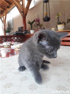 Vand pisici Albastru de Rusia  - imagine 3