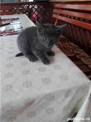 Vând pisici Albastru de Rusia  - imagine 5