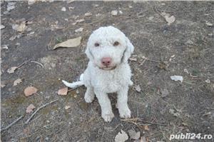 Vand femela lagotto cu pedigree + proba trufe - imagine 8