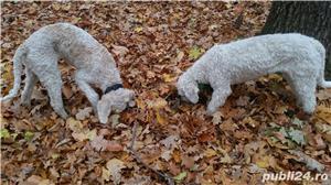 Vand femela lagotto cu pedigree + proba trufe - imagine 3