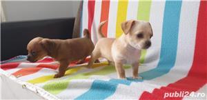 Catei chihuahua 2 luni - imagine 3