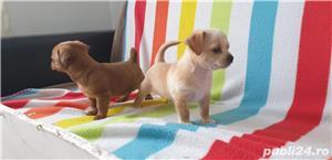 Catei chihuahua 2 luni - imagine 6
