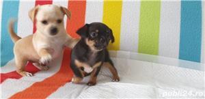 Catei chihuahua 2 luni - imagine 10