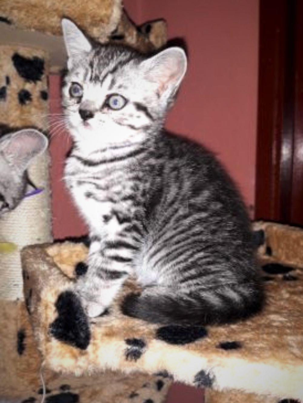 Vand pisicute British Shorthair Silver Tabby - imagine 5