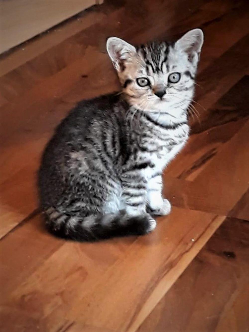 Vand pisicute British Shorthair Silver Tabby - imagine 3