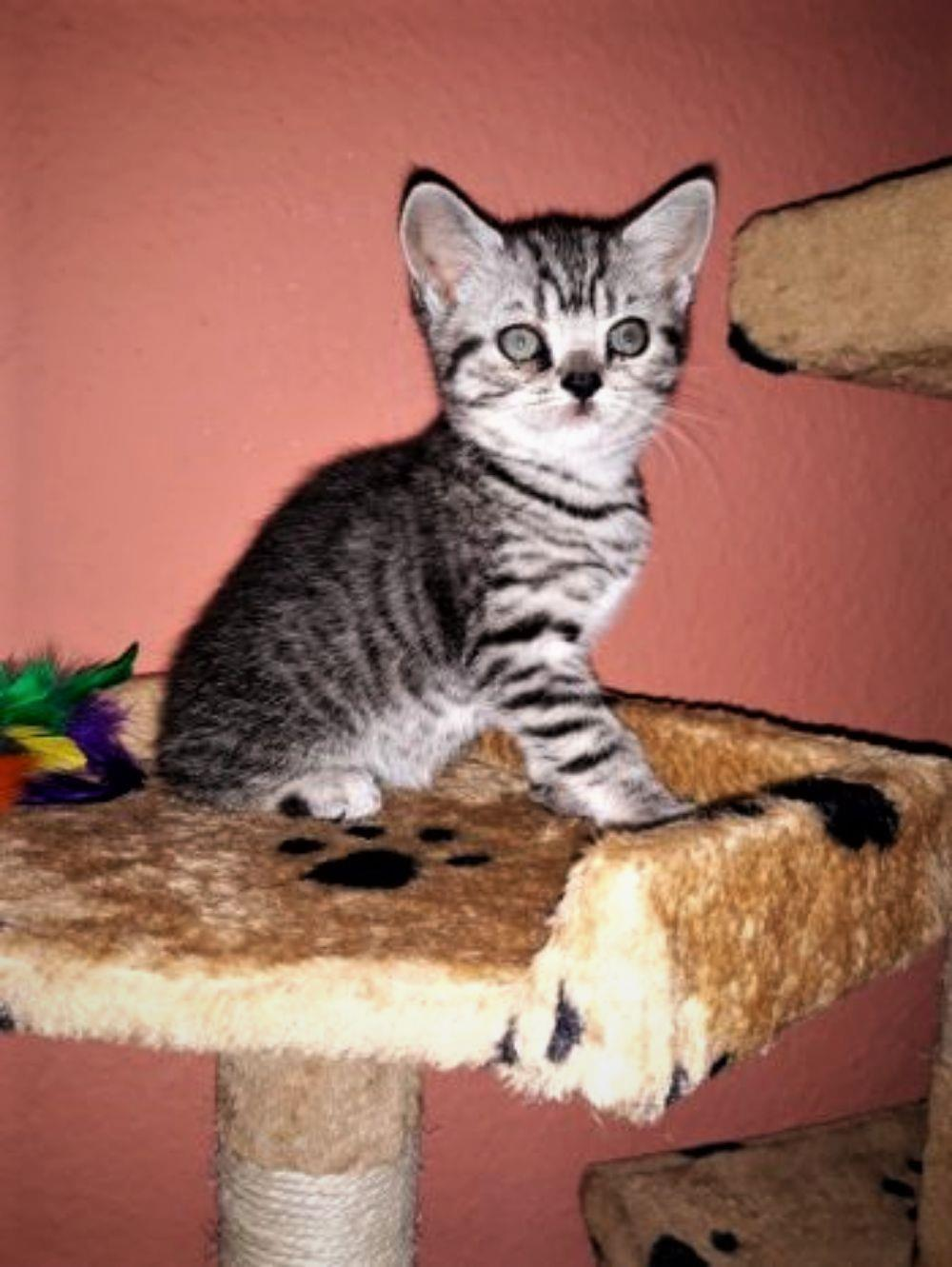 Vand pisicute British Shorthair Silver Tabby - imagine 4