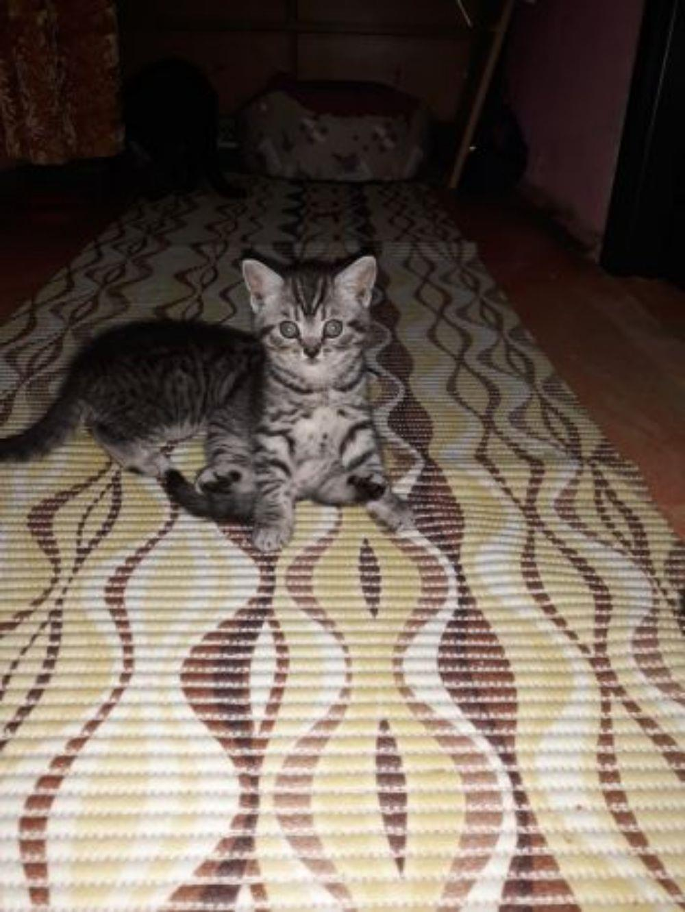 Vand pisicute British Shorthair Silver Tabby - imagine 2