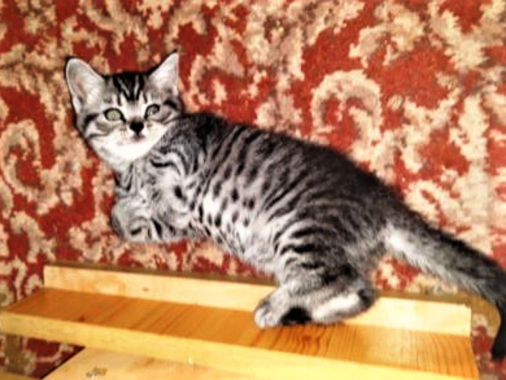 Vand pisicute British Shorthair Silver Tabby - imagine 6