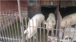 Vand porci - imagine 4