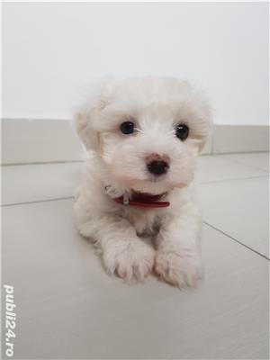 Bichon Maltez - imagine 3
