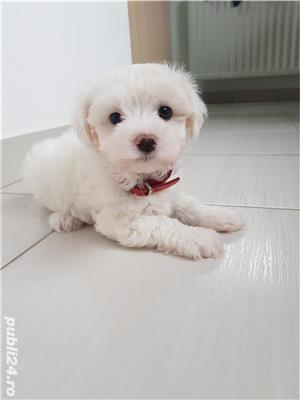 Bichon Maltez - imagine 1