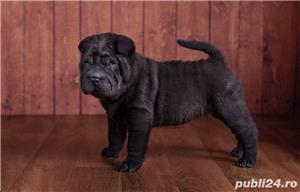 Vand pui de shar-pei sharpei shar pei - imagine 2