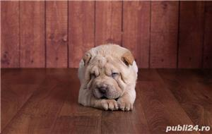 Vand pui de shar-pei sharpei shar pei - imagine 3