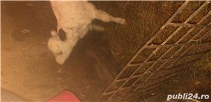 Vand vaca cu vitica - imagine 4