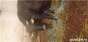 Vand vaca cu vitica - imagine 1