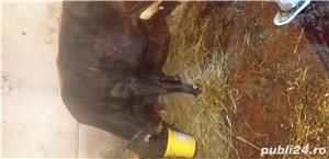 Vand vaca cu vitica - imagine 2
