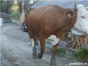 Vacă baltata  - imagine 1