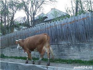 Vacă baltata  - imagine 3
