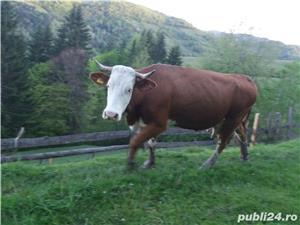 Vacă baltata  - imagine 2