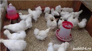 De vânzare ouă pentru incubat de la de găini din rasa Mătase Japoneză. - imagine 1