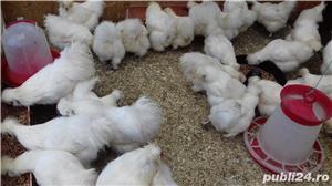 De vânzare ouă pentru incubat de la de găini din rasa Mătase Japoneză. - imagine 3