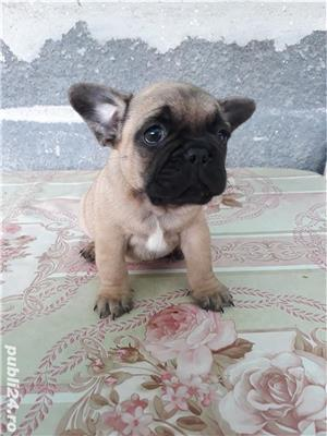 Pui bulldog francez  - imagine 3