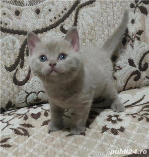 Vand pisici british shorthair bucuresti iasi constanta brasov  OFERTA!! - imagine 4