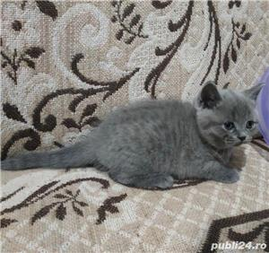 Vand pisici british shorthair bucuresti iasi constanta brasov  OFERTA!! - imagine 2