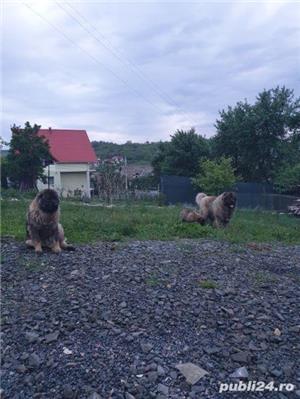 Femela ciobanesc caucazian  - imagine 6