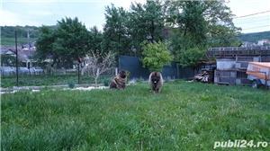 Femela ciobanesc caucazian  - imagine 8