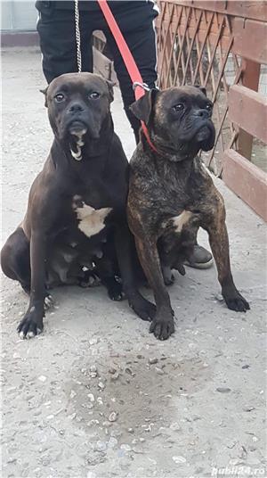 Vand câini boxer     Sunați la acest număr - imagine 3