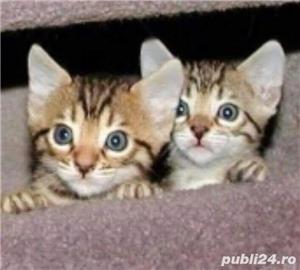Pisicute bengaleze - imagine 3