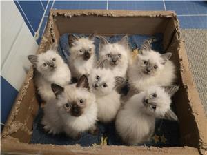 Pisici mici și scumpici de birmaneza - imagine 1