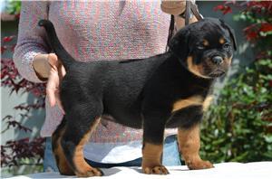 Vand catei rottweiler cu pedigree - imagine 1