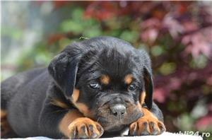 Vand catei rottweiler cu pedigree - imagine 4